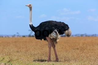 ostriche at the masai mara national park kenya