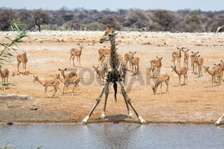 giraffe at a waterhole with impalas etosha national park