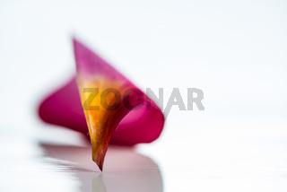 Frangipani flower petal