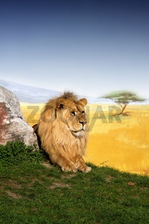 male lion king relaxing outdoor