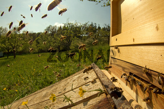 Honigbienen am Stock