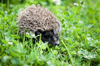 hedgehog walking in garden