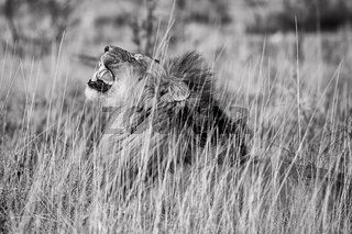 male lion roaring at etosha national park namibia