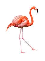 Red caribbean flamingo dancing cutout