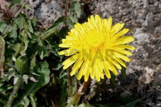 Löwenzahn, leuchtend gelbe Blüte
