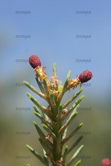 Pinus sylvestris, Waldkiefer, Scots pine