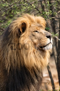 portrait of a huge male lion at kruger national park south africa