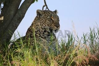 portrait of a leopard at the masai mara national park kenya