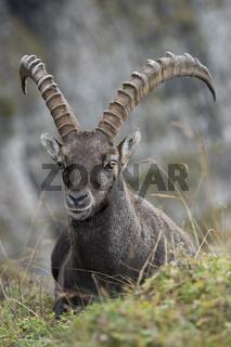 Annäherung... Alpensteinbock *Capra ibex*