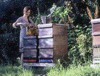 Imkern bei der Arbeit am Bienenstock