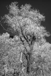 Ostsee - Winterbaum im Naturschutzgebiet bei Pramort (Zingst)