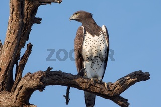 fish eagle at kruger national park