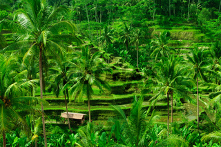 Beautiful green terrace paddy fields on Bali