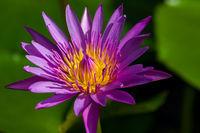 Geöffnete Lotusblüte
