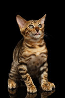 Bengal Kitty Sits and Looking Up dumbfounded on Black