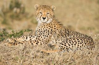Cheetah,Gepard,Acinonyx jubatus