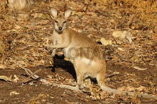 Wallaby, Australien