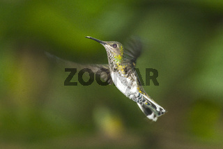 Small hummingbird