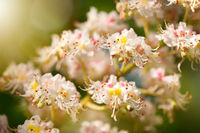 chestnut tree blossoms anthers