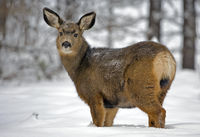 Mule Deer Doe in forest in deep snow