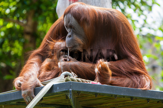 Mother Orangutan With Her Baby