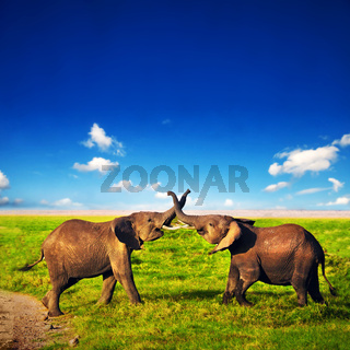 Elephants playing on savanna. Safari in Amboseli, Kenya, Africa