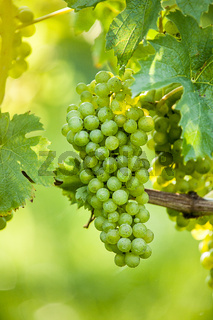 Weintrauben (Vitis vinifera)