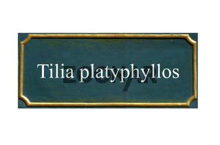 schild sommerlinde, tilia platyphyllos, einheimisches gewaechs