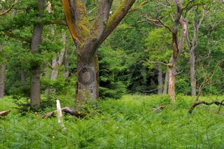 Urwald Sababurg - ancient forest of Sababurg