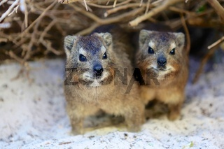two dassies in boulder beach south africa