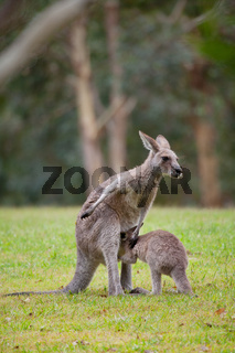 Australian kangaroo mother with young
