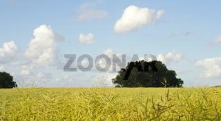 Rapsfeld-I-Schleswig Holstein