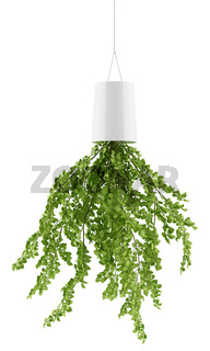 houseplant in inversed hanging planter isolated on white background