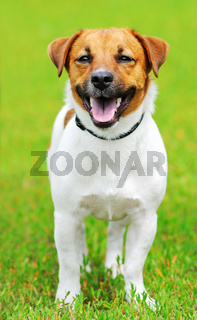 Jack Russell terrier dog on green grass