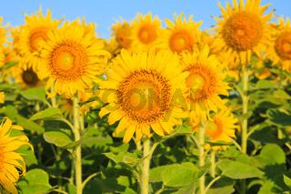 Sunflower Field.