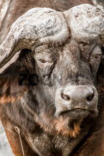 Portrait of a Buffalo