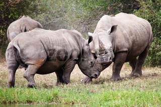 rhinos fight at kruger