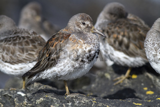 Rock sandpiper winter that stands on rocks in a flock