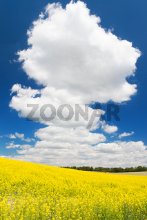 Oil seed rape field against blue sky