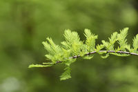 closeup of taxodium distichum sprouts
