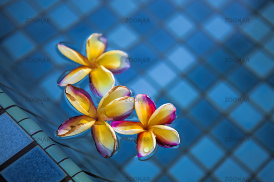 Tropical frangipani flowers floating