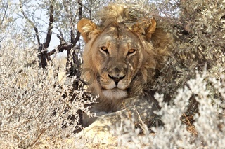 a lion in the bush at kgalagadi national park south africa
