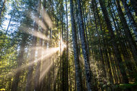 Sun beams through a forest in Washington State.