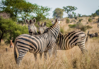 Bonding Zebras in the Kruger National Park