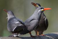 larosterna inca,Inkaseeschwalbe,Vogel,Bird,