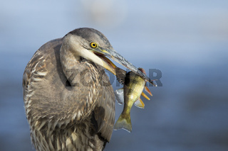 Grey great heron fishing