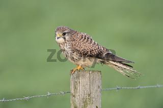 detailreich... Turmfalke *Falco tinnunculus*