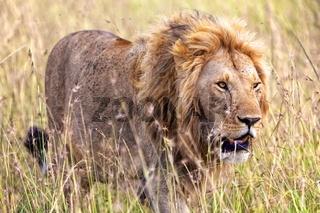 beautiful lion at the masai mara national park kenya