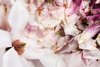 Frische und verwelkte Magnolienblüten