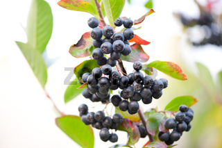 Dark aronia ripe fruits cluster sag on twig